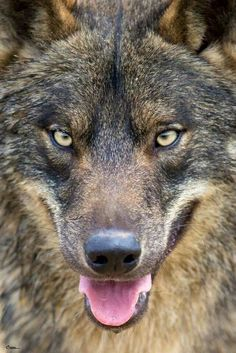 Beautiful Black and Tan Wolf With Intense Eyes.