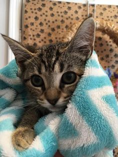 Marty is an adoptable Domestic Short Hair searching for a forever family near Helotes, TX.Helotes Animal Control picked up two kittens at Walmart and brought them to the Helotes Humane Society. We think they may be from the same litter and were dumped in the parking lot.