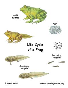 Frog Life Cycle Sequence Cards Preschool Theme Frogs