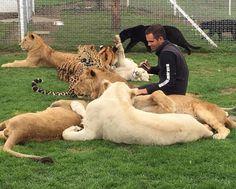 "Black Jaguar-White Tiger on Instagram: ""4 Lions and a Chihuahua... 4 Leones y 1 Chihuahua... #thebigpridebjwt #savelions #savetigers #saveleopards #savejaguars #saveourplanet #behuman #notpets #nosonmascotas #blackjaguarwhitetiger #rescuedlions Pic by @johnmac_bjwt"""