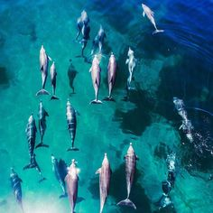 """dronenerds: """"Amazing capture of this pod of dolphins by @tommyiff and his drone! Tag your photos with @dronenerds #dronenerdsphotocontest to enter this week's drone photo contest. We'll be choosing a winner Sunday!"""""""