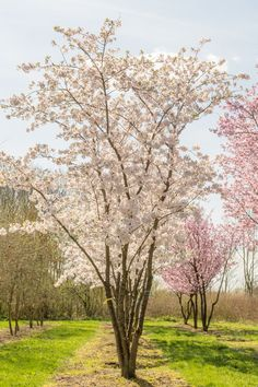 Prunus x yedoensis - Alles Deciduous Trees, Trees And Shrubs, Trees To Plant, Garden Trees, Garden Plants, Back Gardens, Outdoor Gardens, Landscape Architecture, Landscape Design