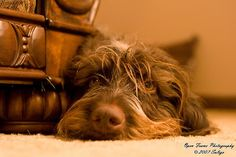 Must remember to get a shot of Gunner like this.I LOVE GWPs! German Wirehaired Pointer, Pointer Dog, Four Legged, Dog Pictures, Pointers, Puppy Love, Doggies, Fathers, Countryside