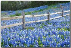 Beautiful Bluebonnets