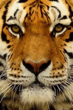 wolverxne:  Tiger Portrait by; [Steve Thompson]
