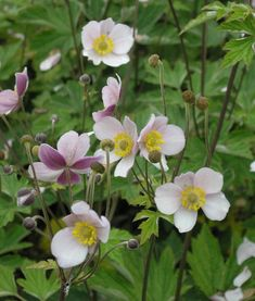 12 sturdy perennials for the garden - No garden without autumn anemones! The elegant perennials form compact tufts of leaves with long fl - Garden Shrubs, Shade Garden, Cottage Garden Design, Cottage Gardens, Flora Flowers, Easy Garden, Cool Plants, Outdoor Plants, Flower Seeds