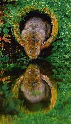 Philip Petrou's stunning shot of a water vole, last year's overall winner