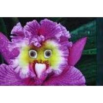25 Sementes Orquídea Papagaio + 15 Arco Íris + 35 Rosa Zampa