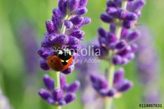#Ladybug On #Lavender @fotolia #fotolia #nature #macro #closeup #details #bokeh #focus #insects #flowers #flowerpower #colorful #wonderful #beautiful #season #summer #stock #photo #portfolio #download #hires #royaltyfree #high #resolution