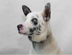 Adopt this beautiful Great Dane/Alaskan Husky Mix - Edmond OK animal shelter