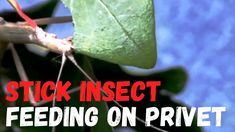 Insect Species, Insects, Animals, Animales, Animaux, Animal, Animais, Dieren