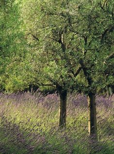 Olive trees in a field of Lavender