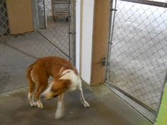 Meet Bandit, a Petfinder adoptable Hound Dog | Largo, FL | Petfinder.com is the world's largest database of adoptable pets and pet care information....