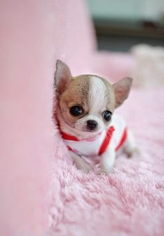 Little teacup chihuahua, oh so cute