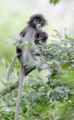 Monkey – Spectacled leaf monkey (Trachypithecus obscurus)