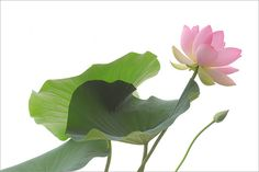 Pink Lotus Flower - IMG_5690-1000 by Bahman Farzad, via Flickr