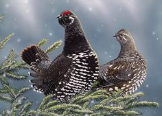 Spruce grouse (Falcipennis canadensis) Birds Facts Egg Images Details