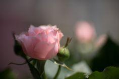 https://flic.kr/p/sn7YzW | Rose | バラ薔薇ばら