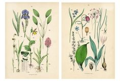 Italian Botanical Prints, Pair