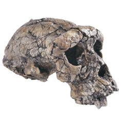 A seven-million-year-old skull found in the Djurab Desert in Chad may indeed represent the earliest known member of the human family. Researchers unveiled the specimen back in 2002, assigned it to a new species, Sahelanthropus tchadensis (nickname: Toumaï), and said it was very close to the point at which the human lineage diverged from that of our closest living relative, the chimpanzee.
