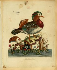 'The Chinese Teal.' Plate from 'Animals and Birds' (1796) by J. Wilkes.Glasgow School of Art Libraryarchive.org