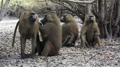 Male Guinea baboons (Papio papio) form close cooperative connections with both related and unrelated conspecifics. Credit: Julia Fischer