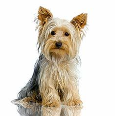 Yorkshire Terriers are intelligent, spirited and alert. Patient training and early socialization will reduce the Yorkshire Terrier's tendencies towards timidity and nipping. One of the world's smallest dogs, this affectionate breed is always willing to please.