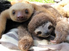 Sloths...Costa Rica! It's on the bucket list :)