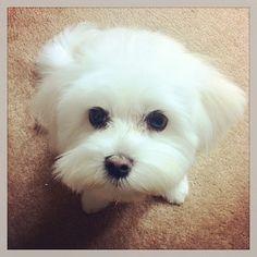 Maltese Dog. I shall name her Lulu