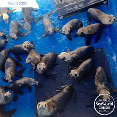 2015 has been a rough year for sea lions along the California coastline. These guys are just a few of the more than 577 sea lions that SeaWorld has rescued this year. #365DaysOfRescue