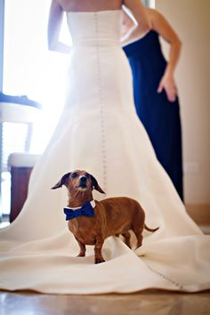 This dachshund is ready to be the ring bearer for this wedding!