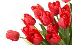 True tulip bulbs, Variety Fresh bulbs tulips, flower bulbs high quality Bulbous Root home garden plant - Flower Images Free, Beautiful Flowers Images, Beautiful Flowers Wallpapers, Red Tulips, Tulips Flowers, Flower Vases, Spring Flowers, Red Roses, Tv Led 32