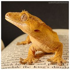 Crested gecko on a book Funny Lizards, Cute Reptiles, Reptiles And Amphibians, Cute Lizard, Cute Gecko, Little Dragon, Baby Dragon, Baby Animals, Cute Animals