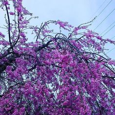 濃ピンクの桜 #landscape
