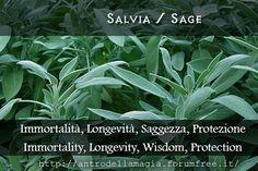 Salvia / Sage // Immortalità, Longevità. Saggezza, Protezione // Immortality, Longevity, Wisdom, Protection // L'antro della magia http://antrodellamagia.forumfree.it/?t=56730566