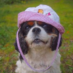Jade, the Cavalier, looks so cute in her little beach hat. Ugly Dogs, Big Dogs, Cute Dogs, Dogs And Puppies, King Charles Puppy, King Charles Spaniel, Cavalier King Charles, Pet Parade, Cutest Dog Ever