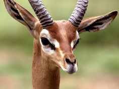 cute gazelle wallpapers