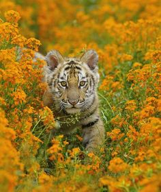 Photograph-Bengal tiger - cub amongst Mustard flowers, Endangered Species-Photograph printed in the USA Beautiful Cats, Animals Beautiful, Cute Baby Animals, Funny Animals, Lion Tigre, Funny Tiger, Mustard Flowers, Cute Tigers, Mundo Animal