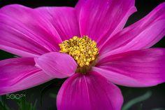 "Cosmos pink - Close up of a pink blossom of a flower called ""Cosmos bipinnatus"" https://www.etsy.com/shop/Lichteditor  //  http://de.dawanda.com/shop/Lichteditor http://www.lichteditor.de  //"