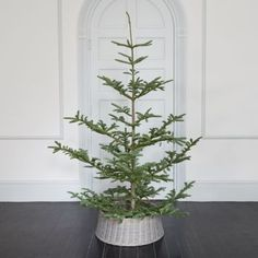 Fresh Cut Noble Fir.