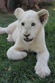 Beautiful white lion cub