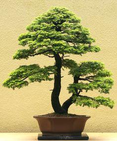Bonsai… Twin trunk bonsai-Shokan
