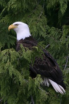 Bald Eagle - Awesome !