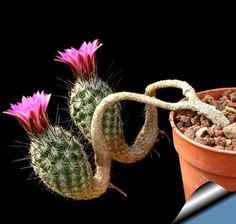 Amazing Unusual Plants To Grow In Your Garden Unusual Plants, Rare Plants, Exotic Plants, Cool Plants, Succulent Terrarium, Cacti And Succulents, Planting Succulents, Planting Flowers, Flowers Garden