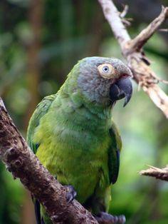 Dusky-headed parakeet (Aratinga weddellii)