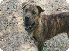 Toronto, ON - Chow Chow Mix. Meet CLEO, a dog for adoption. http://www.adoptapet.com/pet/10893062-toronto-ontario-chow-chow-mix at TORONTO ANIMAL SERVICES - EAST REGION 821 Progress Ave #Toronto ON M1H 2X4 Ph 416-338-7539