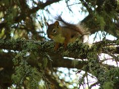Friendly red squirrel on Isle Royale