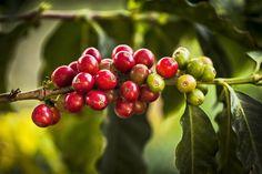 El café mexicano proviene de los arbustos del género Coffea, del cual existen dos especies de importancia comercial.