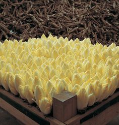 Belgian Endive- Plant seed now.