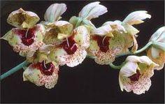 Resultado de imagen para orquideas de los andes